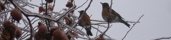 Birds on Ice-Coated Tree