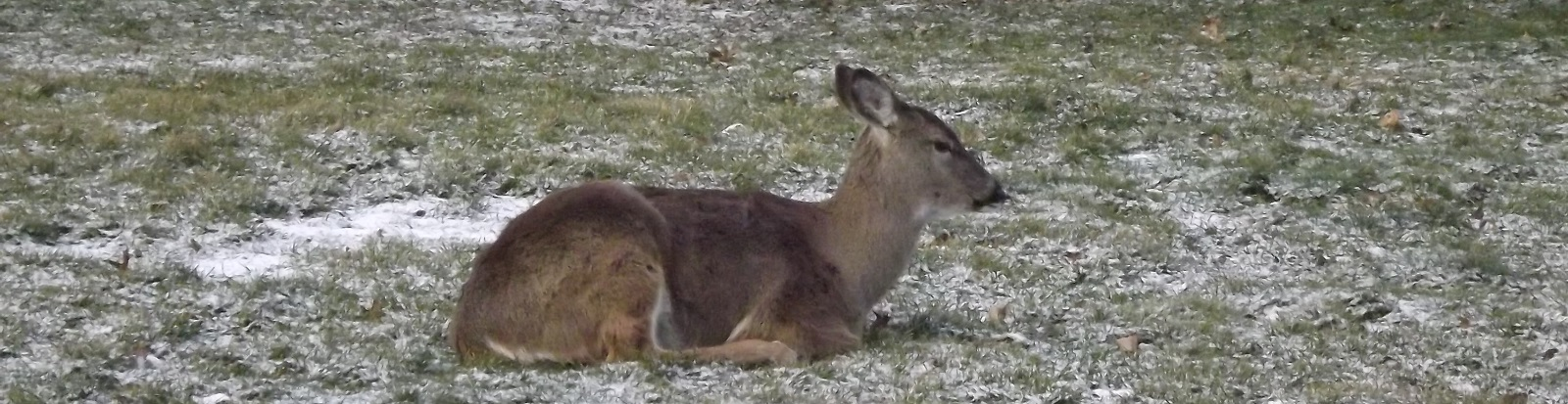Deer Sitting in Yard