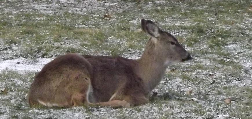 Deer Sitting in Yard
