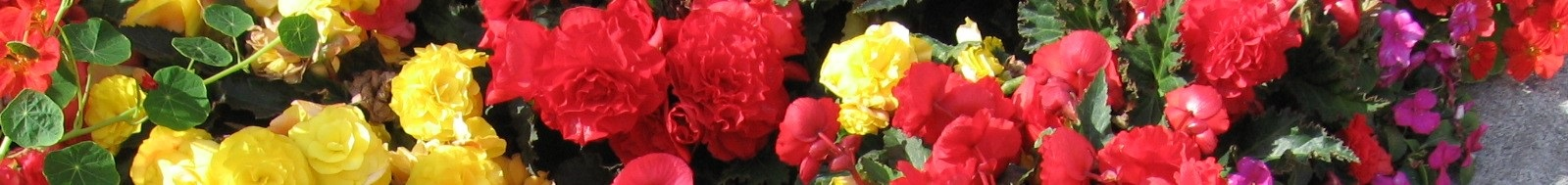 Begonias in Multiple Colors