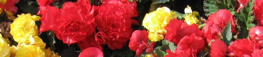 Begonias in Multiple Colors
