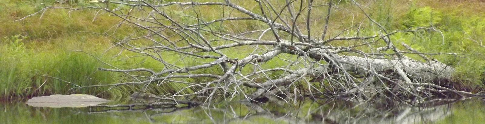 Fallen Tree in Water