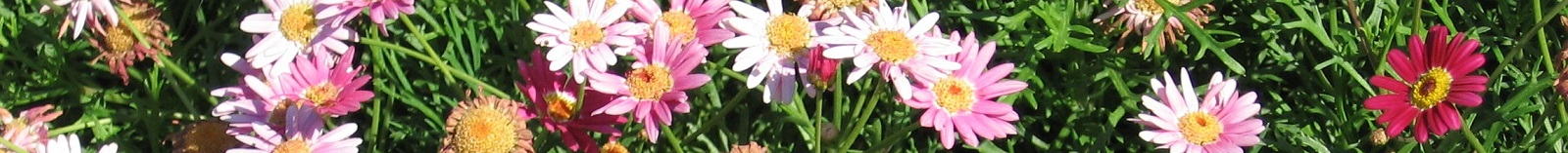 Mini Aster Flowers
