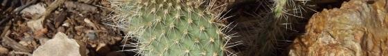 prickly-cactus
