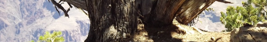 Tree at Edge of Grand Canyon