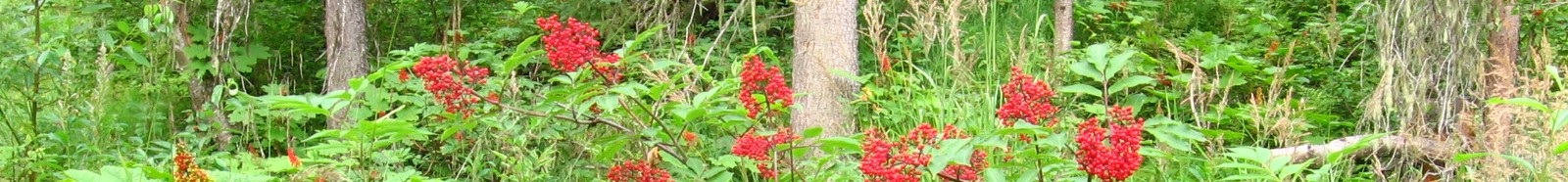 Wild Berry Bunches - Probably Poisonous