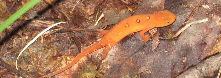 Orange Lizard